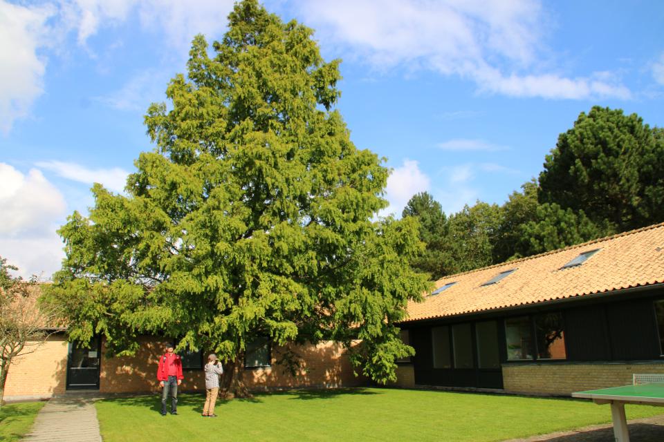 Метасеквойя в школьном дворе, Дания