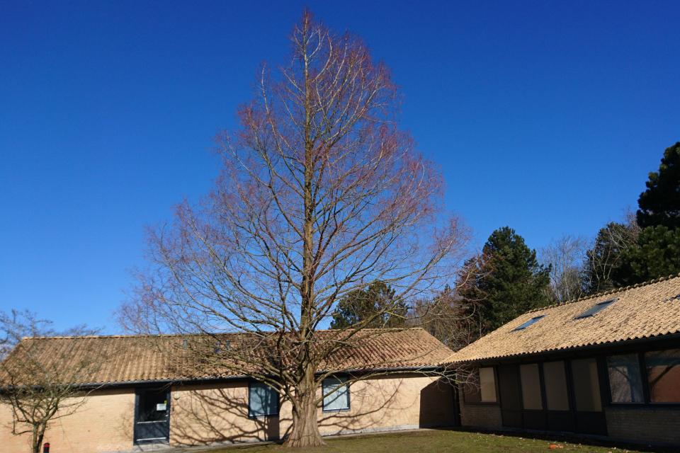 То же дерево в школьном дворе 18 марта 2018, г. Вибю, Дания