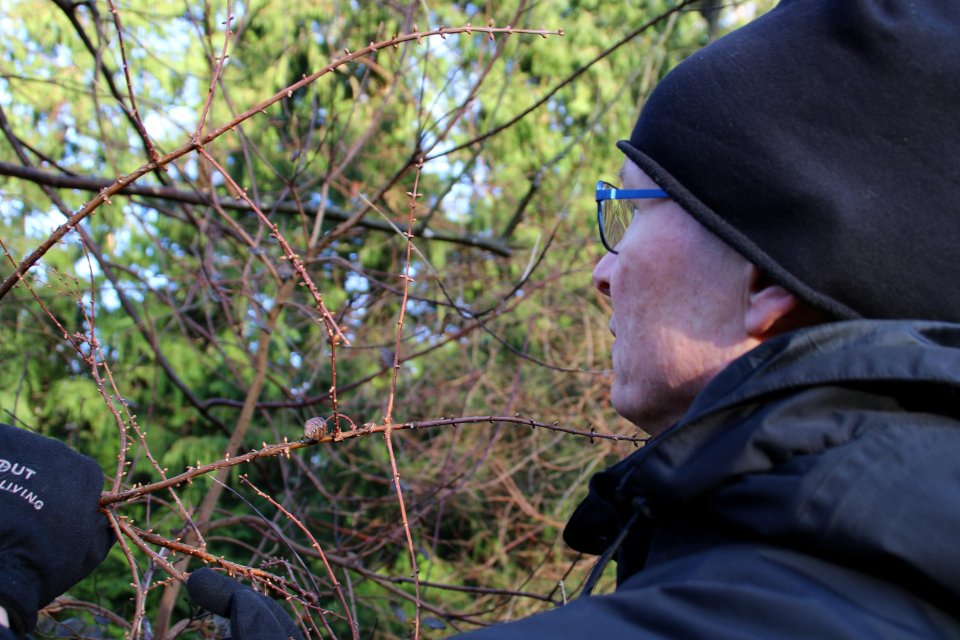 Шишка на голых ветках метасеквойи. Фото 1 янв. 2018, лесной ботанический сад
