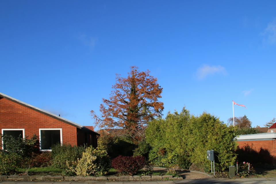 Метасеквойя в осеннем наряде в саду моего соседа, Дания
