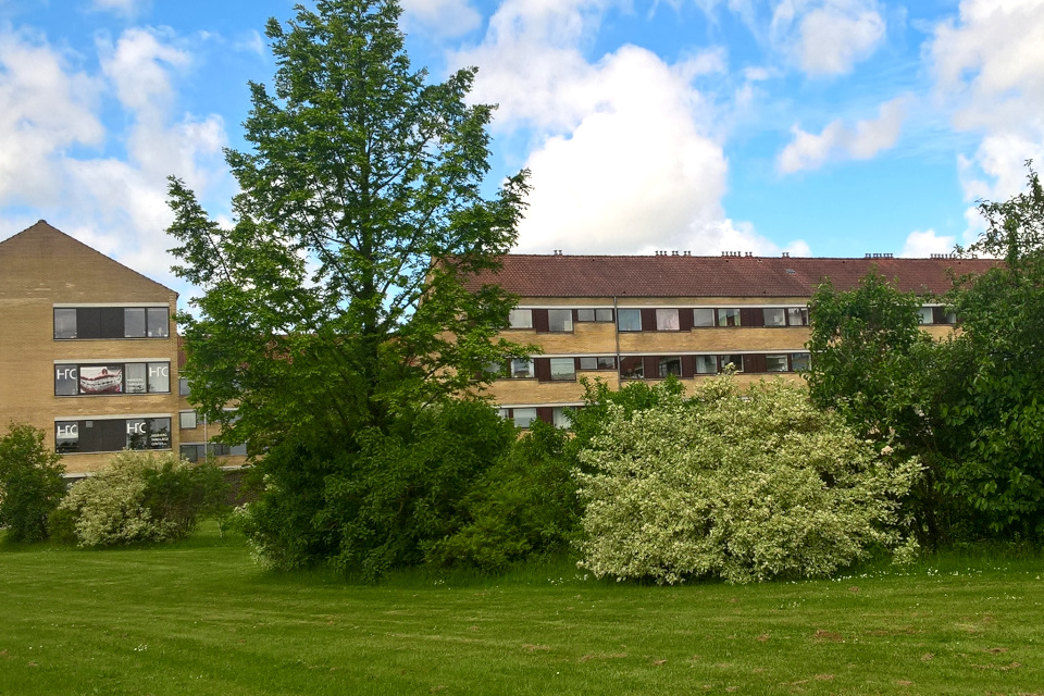 Метасеквойя на газоне возле жилищных комплексов, Дания