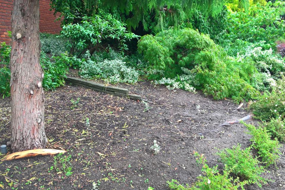 Корни метасеквойи, оставшиеся на поверхности почвы