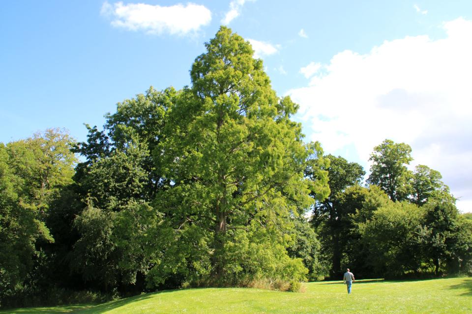 Высокая метасеквойя в парке старинного замка Боллер