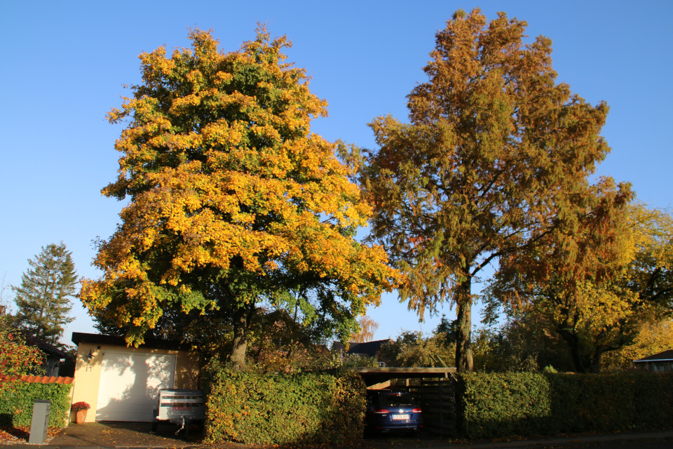 метасеквойя (лат. Metasequoia glyptostroboides, дат. vandgran)