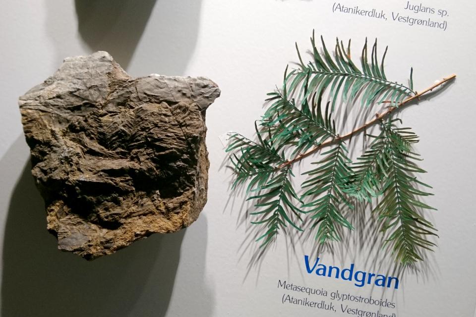 Окаменелость с отпечатками листьев метасеквойи, найденная в Гренландии. Фото 29 авг. 2021, Музей естественной истории, г. Орхус, Дания
