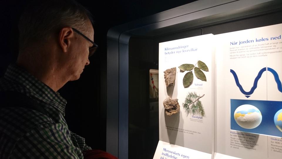 Окаменевшие остатки с отпечатками листьев метасеквойи и грецкого ореха, найденные в Гренландии. Фото 29 авг. 2021, Музей естественной истории, г. Орхус, Дания