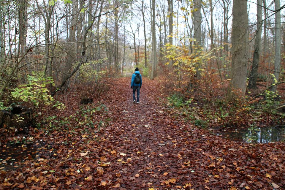 Буковый лес, Havreballe Skov, Орхус, Дания. 15 нояб. 2020