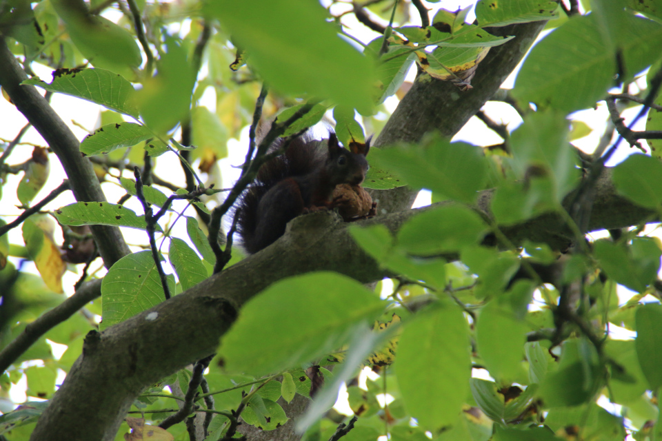 Белочка с грецким орехом на дереве. Королевский парк Марселисборг anno 2020