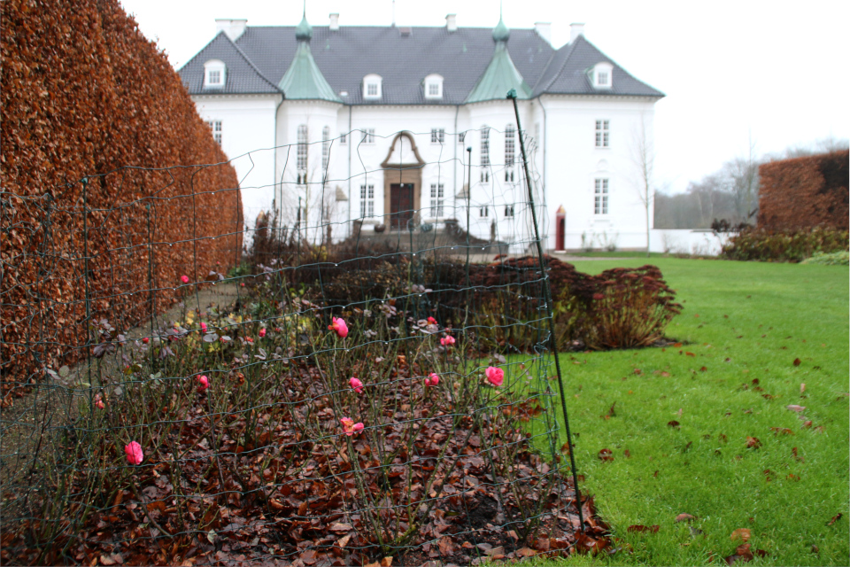 Зимние розы за оградой на клумбе возле дворца Марселисборг