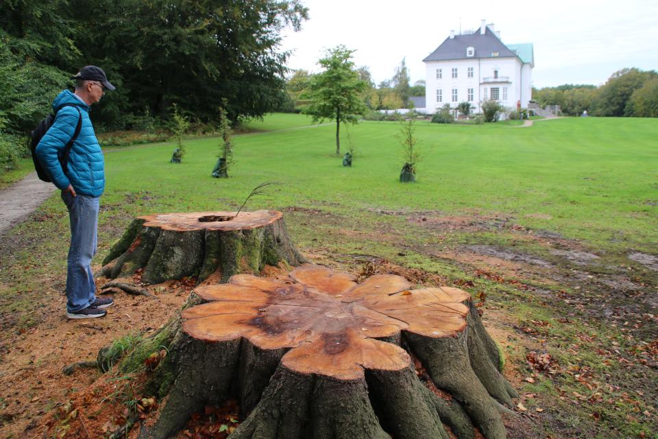 Срубленные старые буковые деревья возле дворца и посадки новых буков
