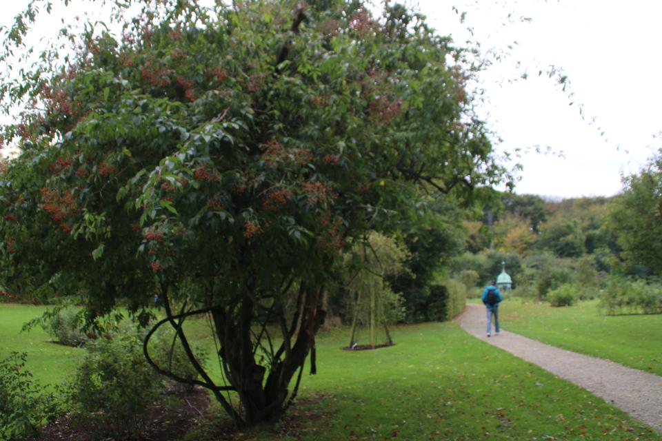 Старая яблоня, заросшая плетущимся кустом розы с красными плодами
