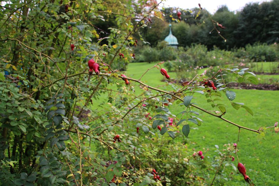 Розы с красочными крупными плодами в розарии