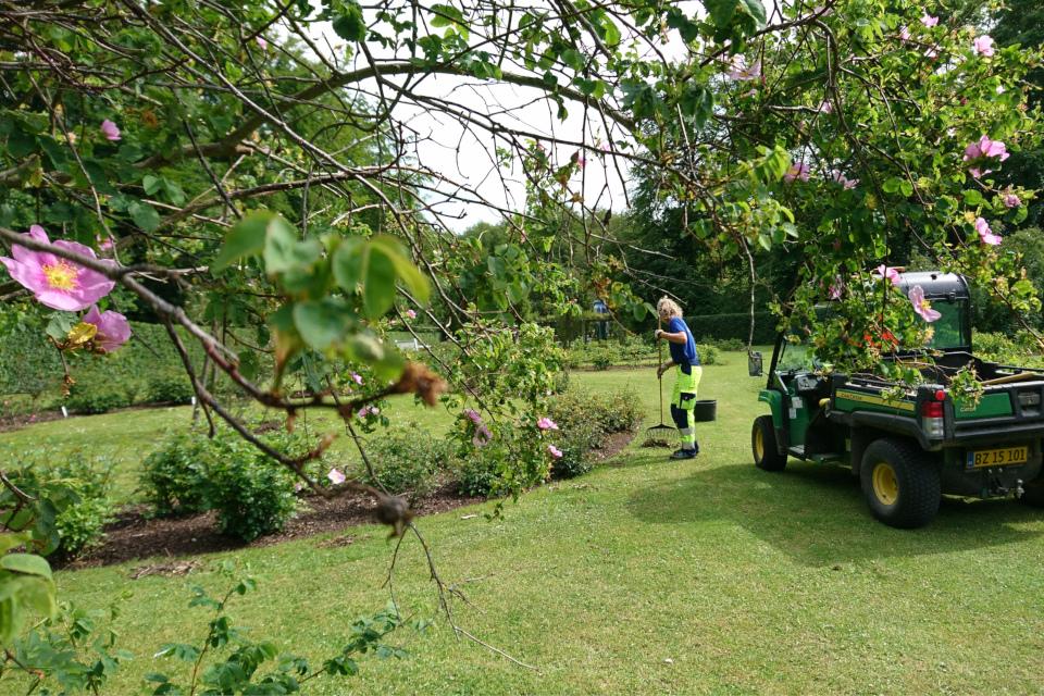 Садовник за работой в розарии королевского парка Марселисборг