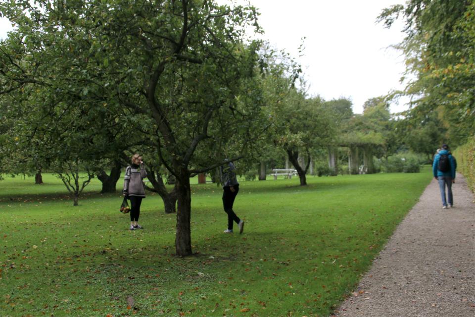 Сбор яблок в королевском парке Марселисборг. Фото 4 окт. 2020, г. Орхус, Дания