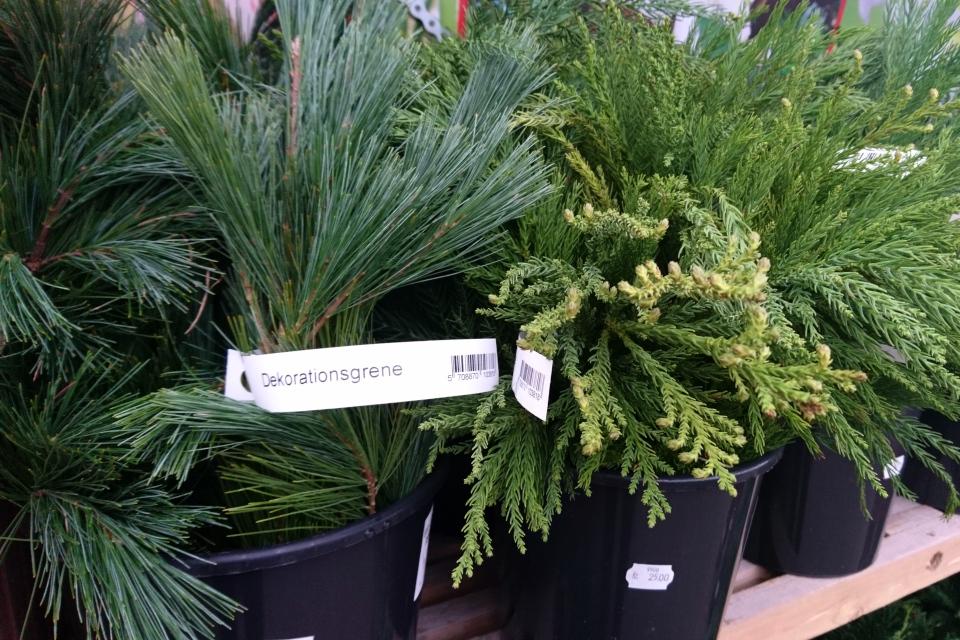 Хвойные растения: сосна (лат. Pinus, дат. Fyr), криптомерия японская