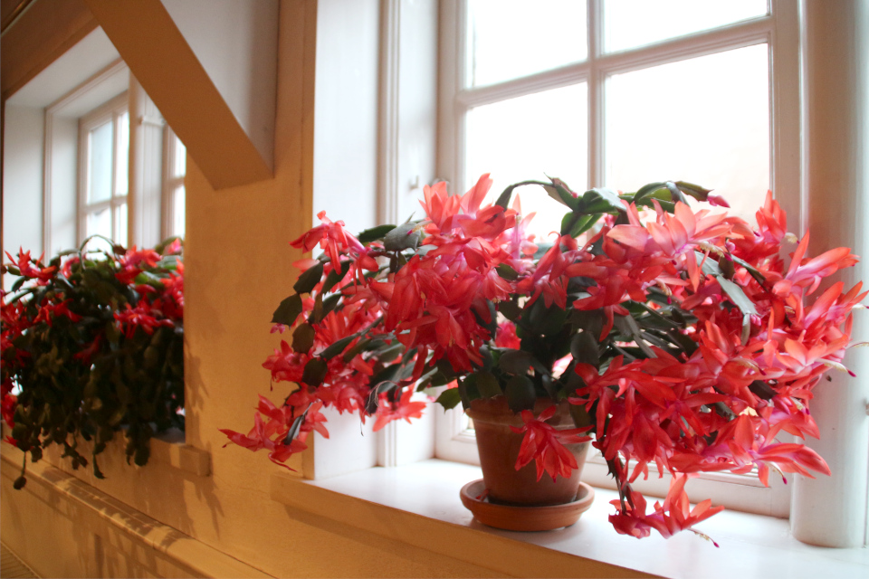 Обильноцветущая шлюмбергера в рождественском зале (julestue)