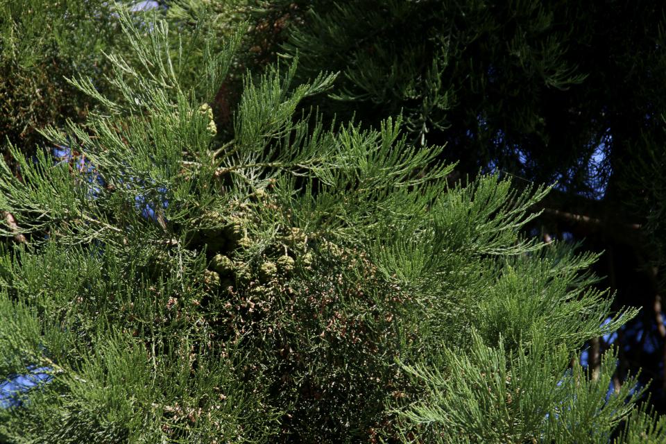 Зеленые шишки секвойядендрона. Фото 10 июл. 2018, ботанический сад