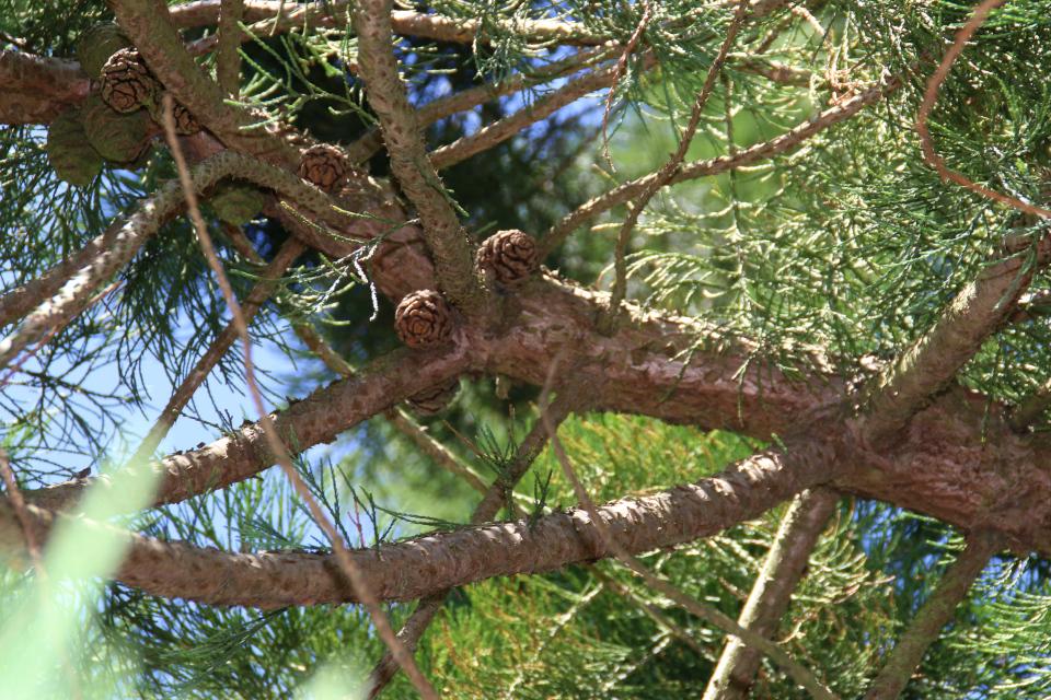 Зеленые и одревесневшие шишки секвойядендрона