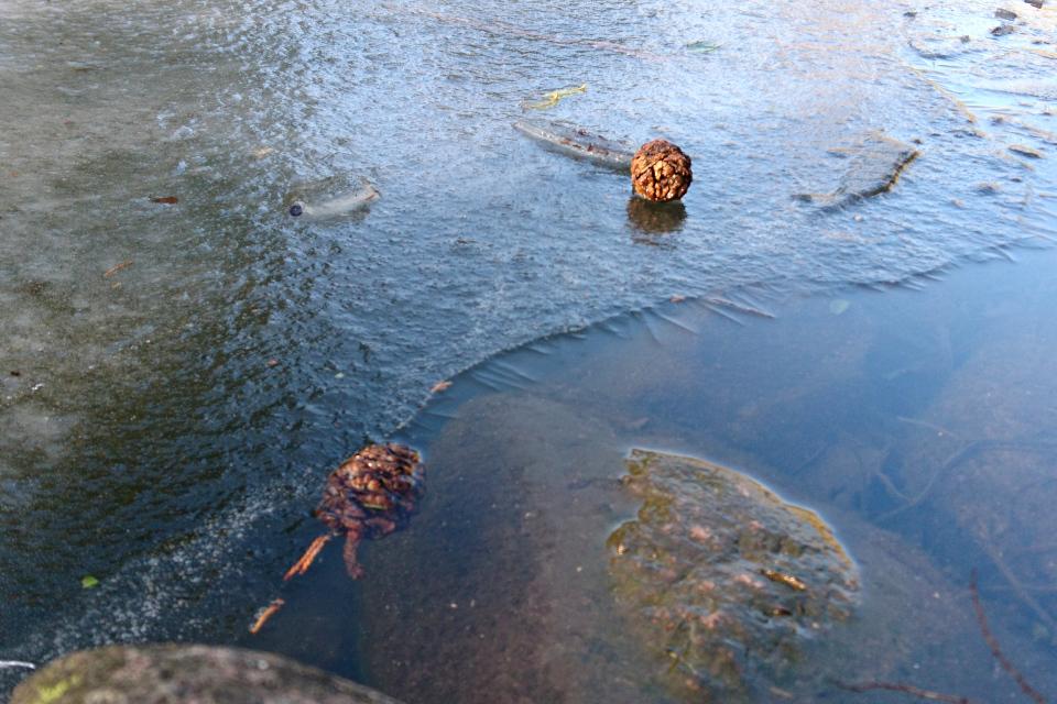 Шишки секвойядендрона, вмерзшие в ледяную корку на поверхности пруда