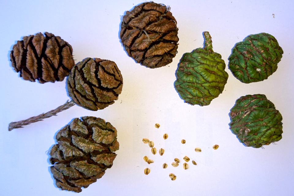 Шишки и семена мамонтового дерева