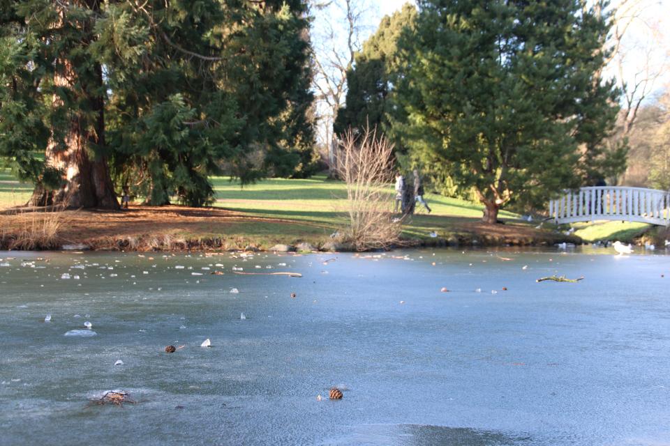 Озеро с шишками и ветками секвойядендрона в ботаническом саду г. Орхус, Дания.
