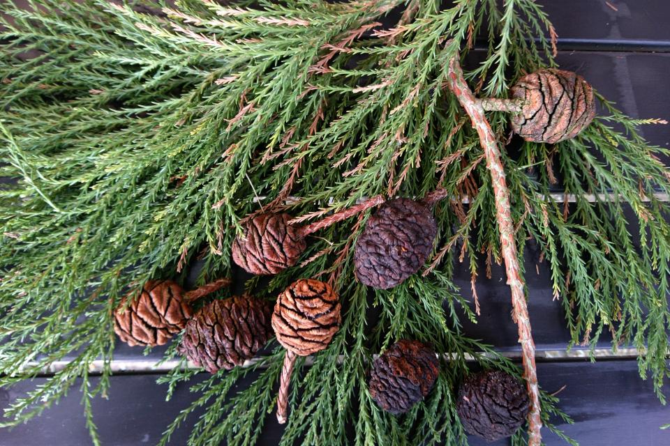 Ветки с чешуеобразной хвоей и шишки мамонтого дерева