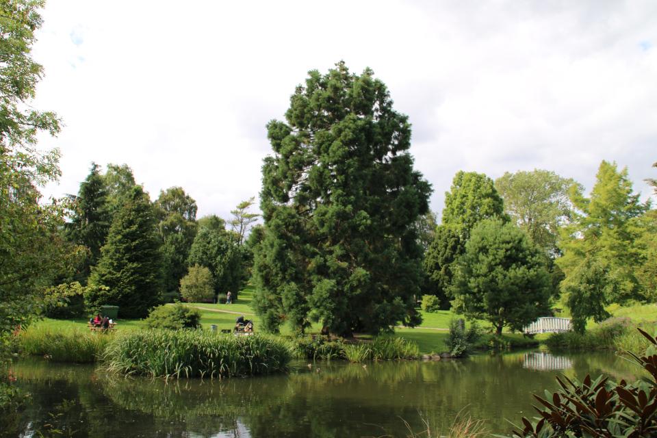 Мамонтово дерево в ботаническом саду г. Орхус, Дания. Фото 14 авг. 2017