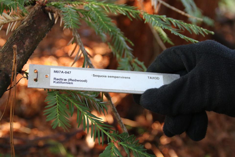 Секвойя (лат. Sequoia sempervirens, дат. Rødtræ)