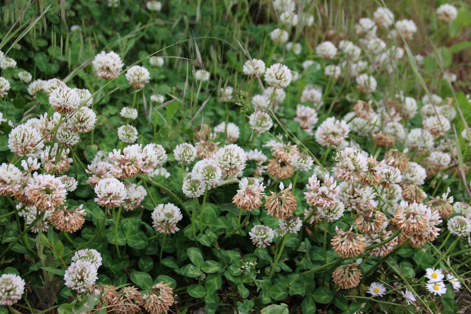 Клевер белый (дат. Hvidkløver, лат. Trifolium repens) на территории поместья