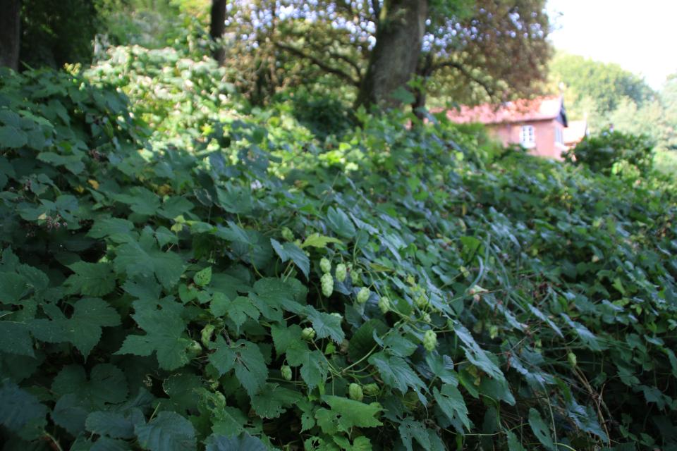 Хмель (Humulus lupulus). Пять Хальдов, Дания / De 5 Halder. Фото 6 сент. 2018