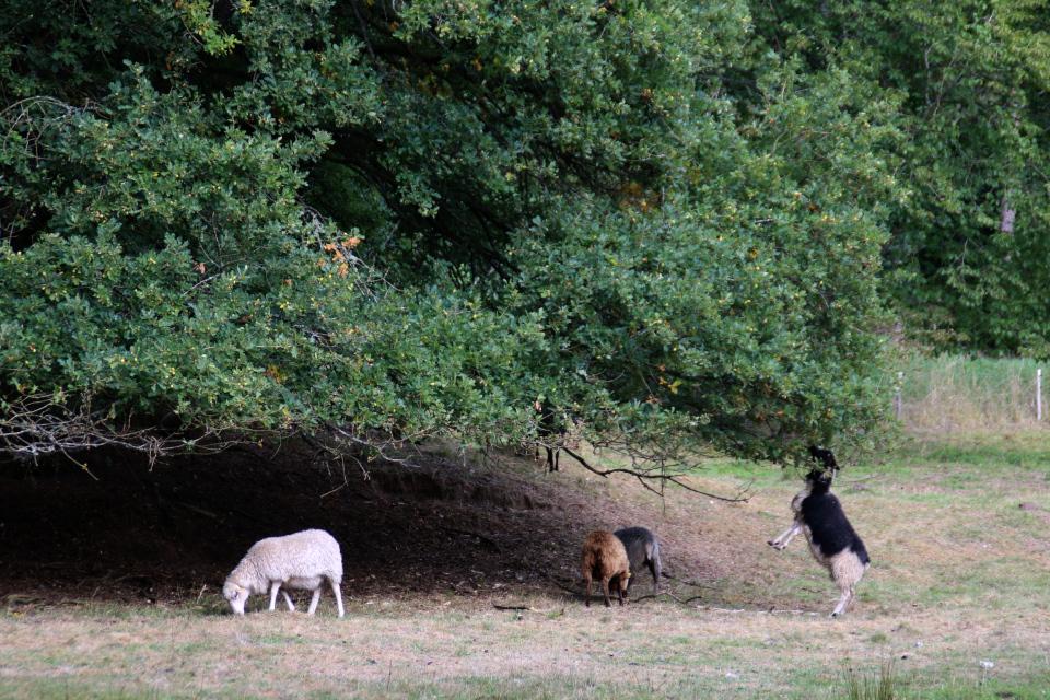 Дубы и овцы. Пять Хальдов, Дания / De 5 Halder. Фото 6 сент. 2018