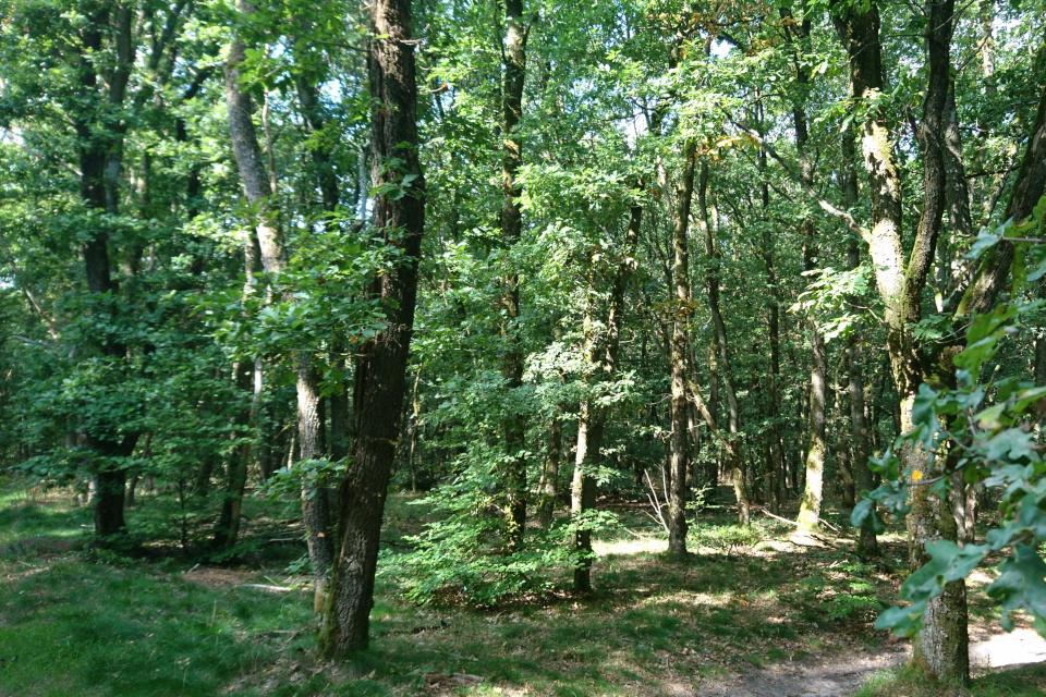 Холмы Доллеруп - дубовый лес. Фото 6 сент. 2018