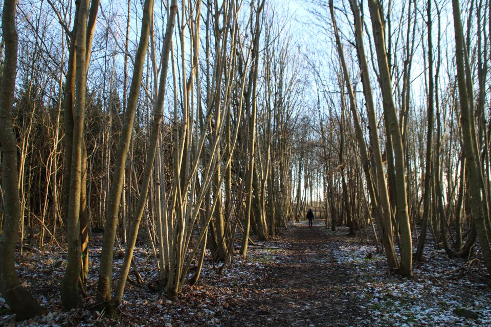 Дорожка к руинам Бьорнкэр через порослевой лес. Фото 31 янв. 2021, Оддер, Дания