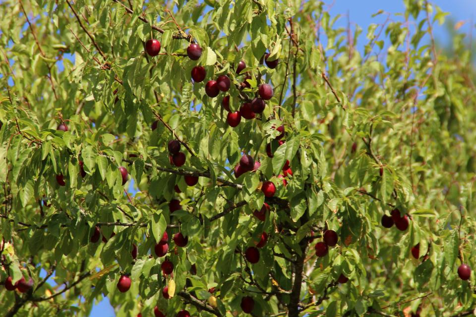Алыча (дат. Mirabel, лат. Prunus cerasifera). Фото 6 сент. 2018