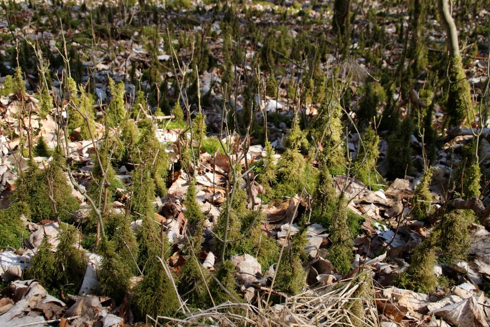 Мховый лес Хёррет (Hørret skov) Дания. 18 мар. 2021