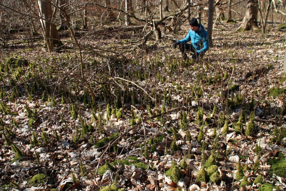 Заболачивание леса Хёррет. (Hørret skov) Дания. 18 мар. 2021