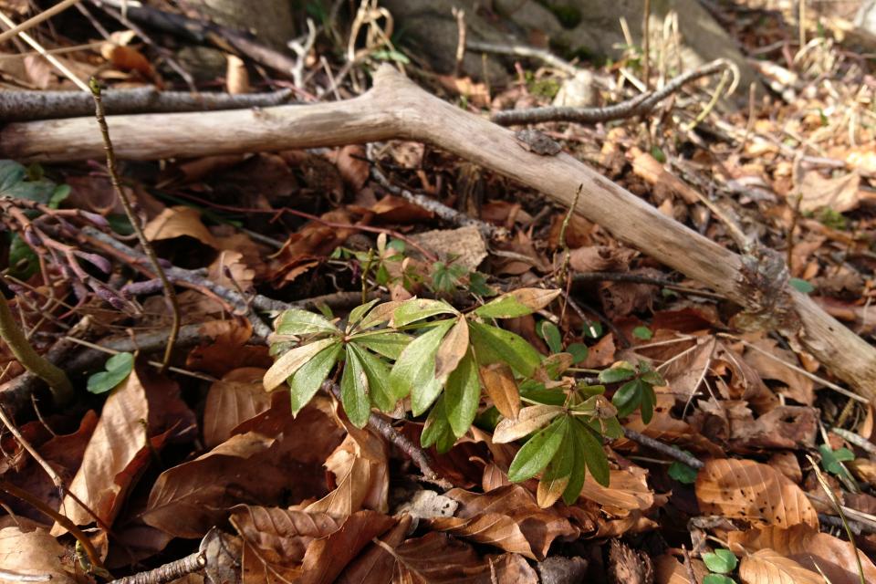 Подмаренник душистый, Galium odoratum. 14 мар. 2021