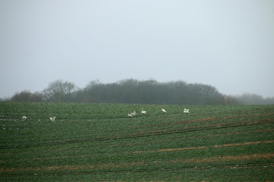 Лебеди на полях. Вид с дороги Aakærvej