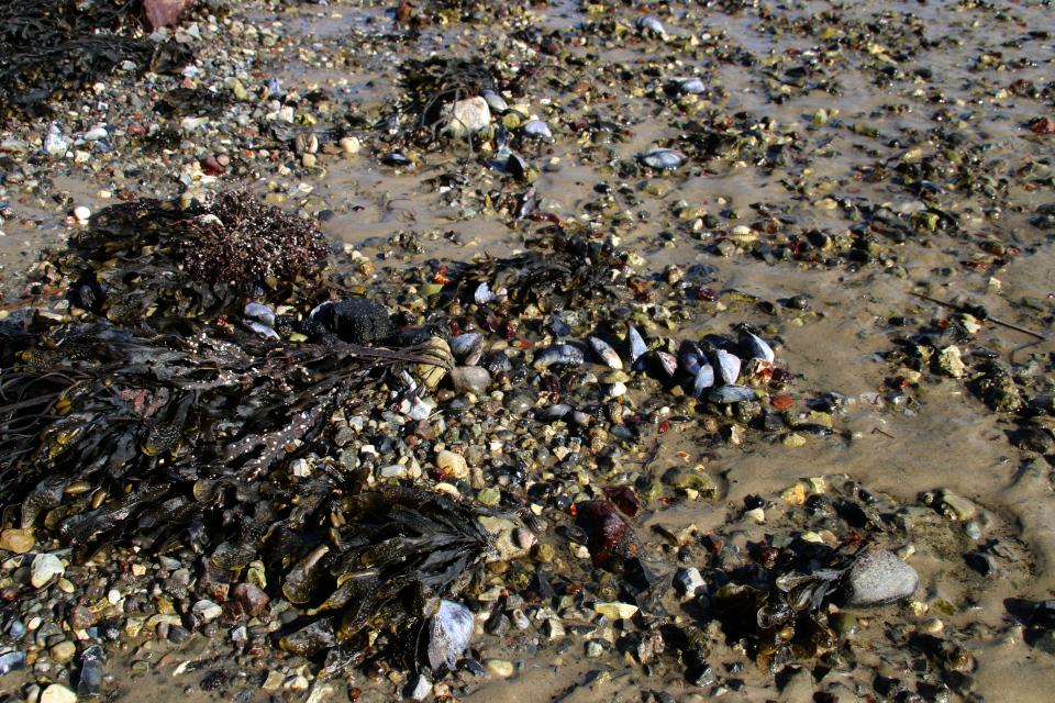 Берег моря, Равнсков. Мидии, водоросли.9 мар. 2021, Дания