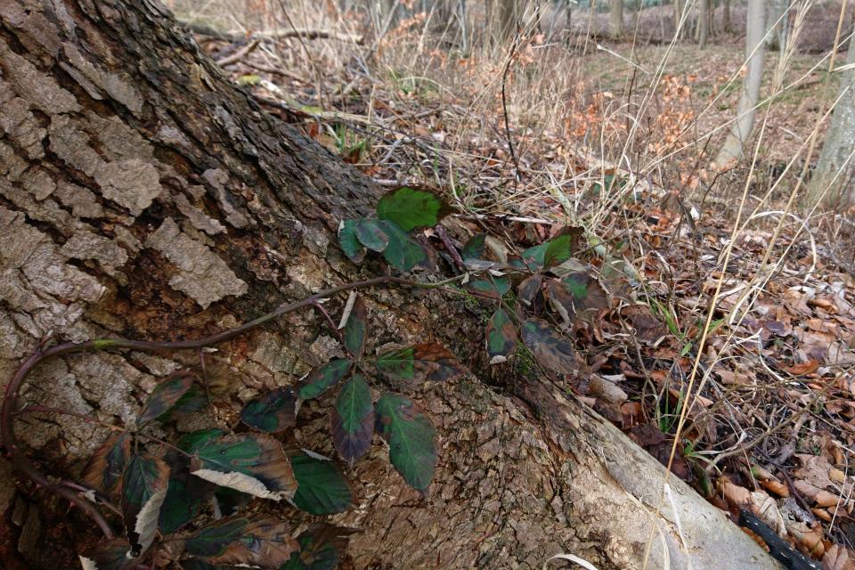 Brombær (Rubus plicatus) Ежевика складчатая, 14 мар. 2021