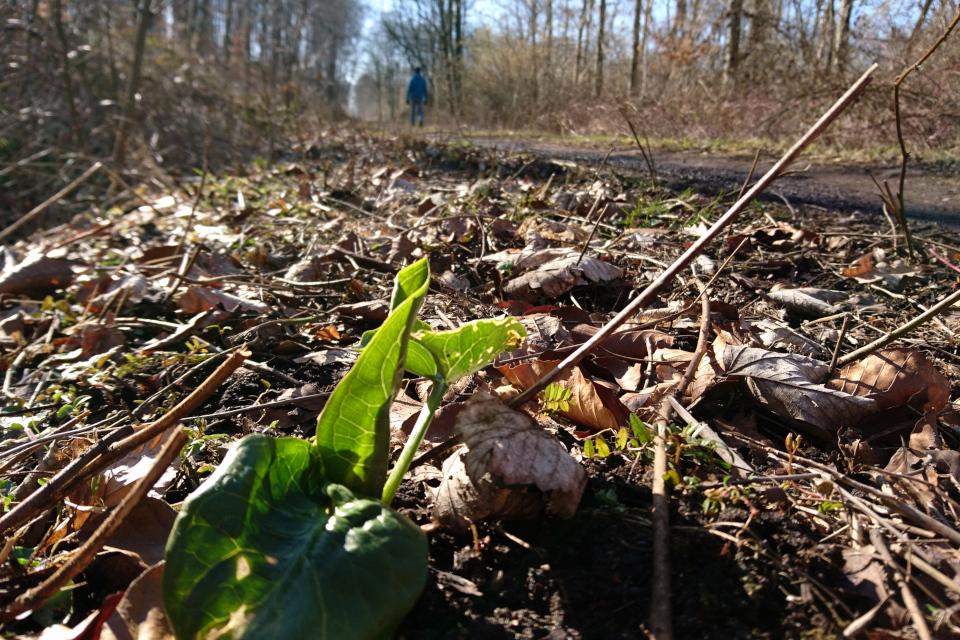 Аронник альпийский (дат. Dansk Arum, лат. Arum alpinum)
