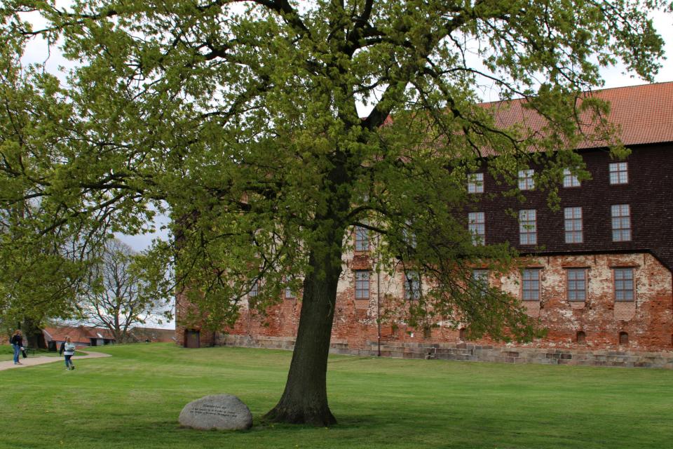Дуб женщин возле старинного замка Колдингхус. Фото 2 мая 2019, г. Колдинг, Дания