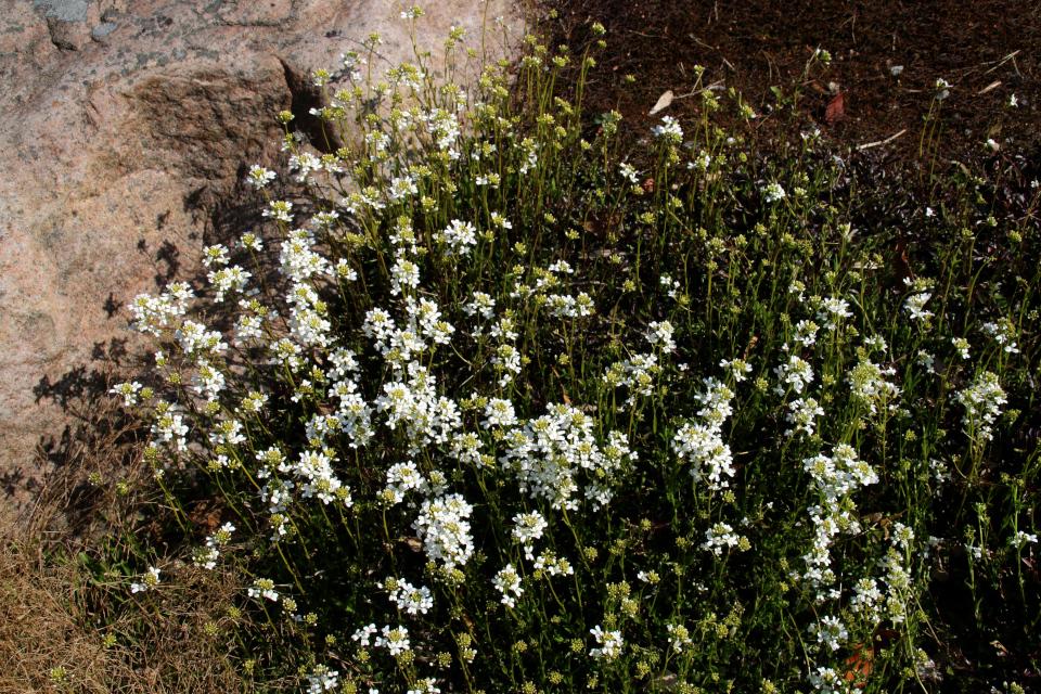 Арабис Фердинанда Кобургского в ботаническом саду г. Орхус, Дания