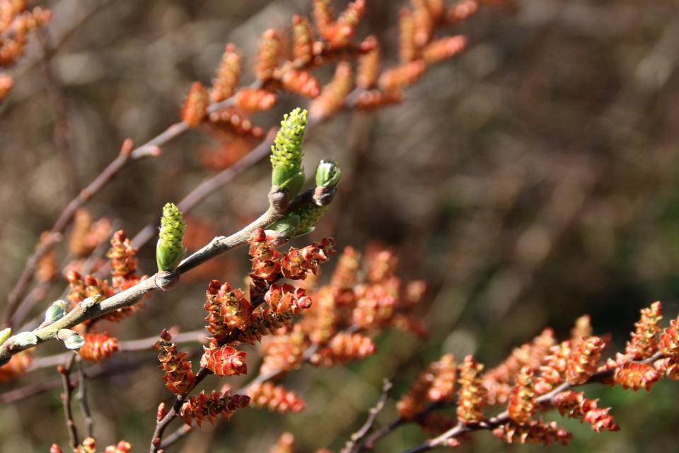 Восковница обыкновенная в цвету. Ботанический сад Орхус