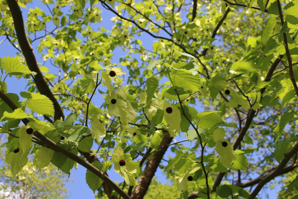 Цветущая давидия в лесном ботаническом саду г. Орхус, Дания