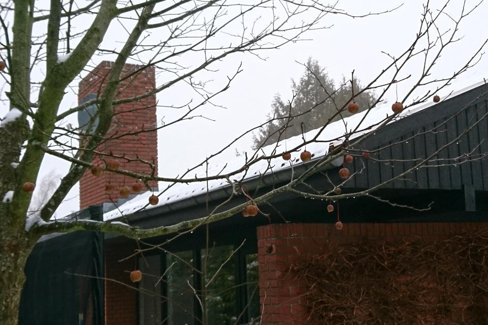 Давидия в Дании зимой - дерево с плодами