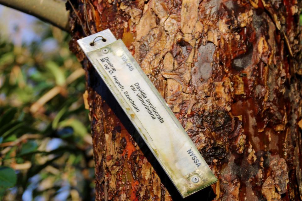 Давидия покрывальная (Davidia involucrata var. vilmoriniana)