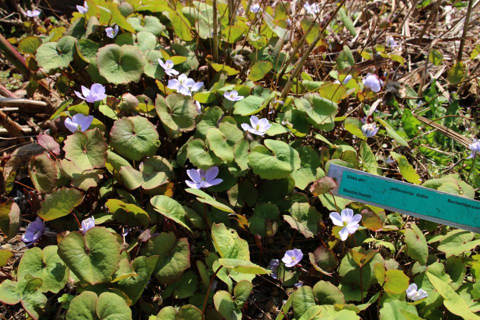 Цветы джефферсонии сомнительной. Ботанический сад Орхус 18 апреля 2021