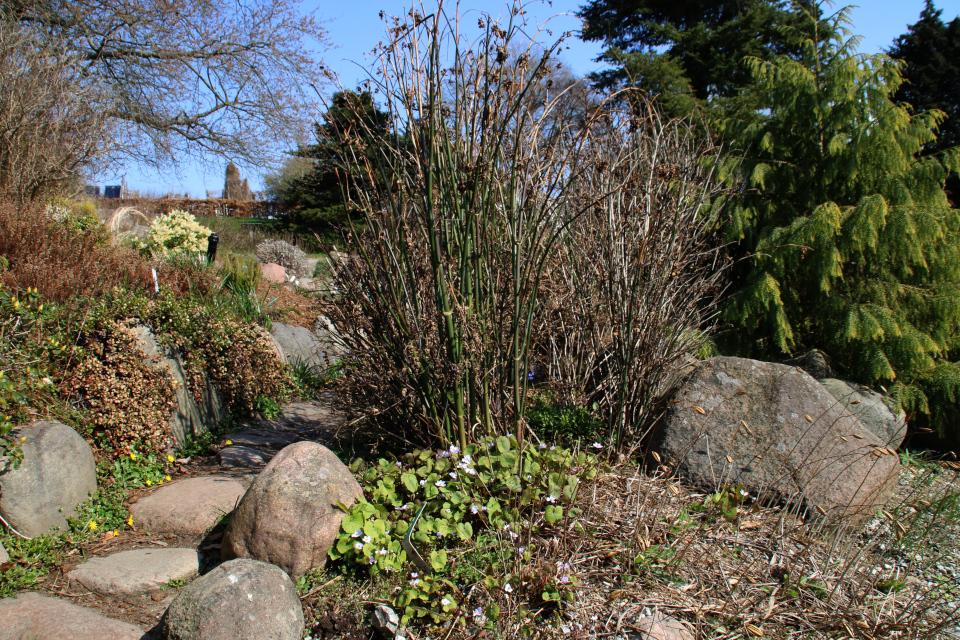 Джефферсония сомнительная в ботаническом саду г. Орхус, Дания