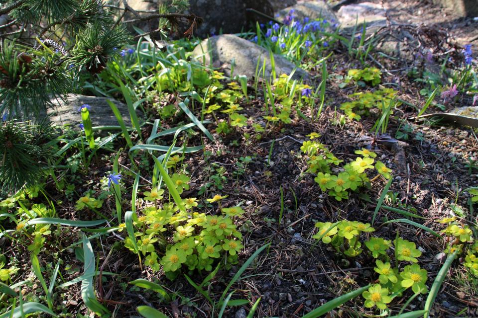 Звездовка эпипактис. Ботанический сад Орхус 18 апреля 2021, Дания